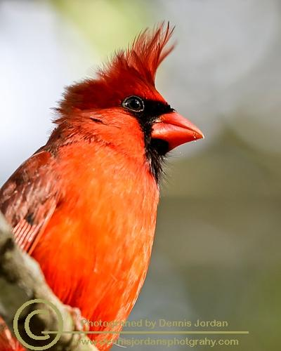 Cardinal;Dennis Jordan\'s Photography;Florida Wildlife Photography;Nature Photography