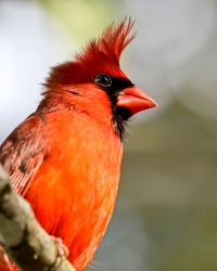 Cardinal;Dennis-Jordans-Photography;Florida-Wildlife-Photography;Nature-Photography