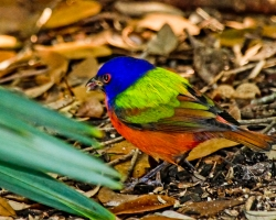 Dennis-Jordans-Photography;Florida-Wildlife-Photography;Nature-Photography;Painted-Bunting