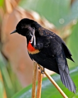 Birds;Dennis-Jordans-Photography;Florida-Wildlife-Photography;Nature-Photography;Redwinged-Black-Birds