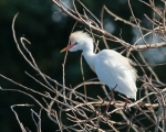 Cattle-Egret;Wildlife;Wildlilife-Photos