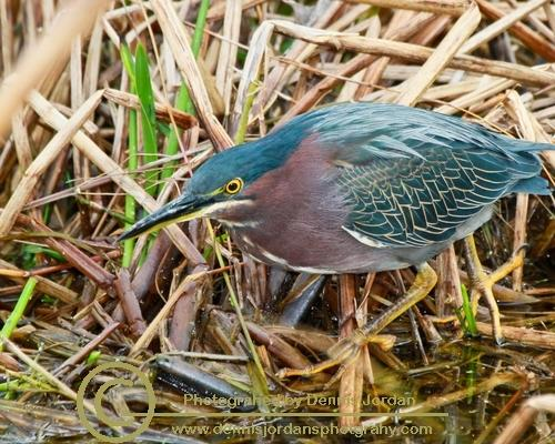 Dennis Jordan\'s Photography;Florida Wildlife Photography;Green Herons;Herons;Nature Photography