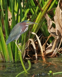 Dennis-Jordans-Photography;Florida-Wildlife-Photography;Green-Herons;Herons;Nature-Photography