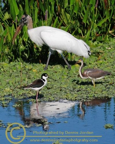 Birds;Dennis Jordan\'s Photography;Florida Wildlife Photography;Nature Photography;Wood Storks