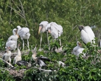 Birds;Dennis-Jordans-Photography;Florida-Wildlife-Photography;Nature-Photography;Wood-Storks