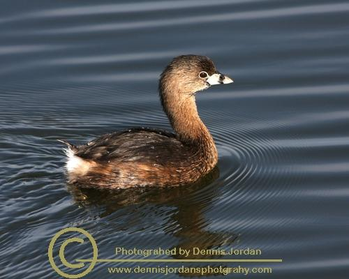 Animals;Birds;Dennis Jordan\'s Photography;Flora;Florida Wildlife Photography;Flowers;Insects;Nature Photography;Pied Billed Grebes;Reptiles;Water Fowl;Wildlife Keywords