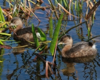 Animals;Birds;Dennis-Jordans-Photography;Flora;Florida-Wildlife-Photography;Flowers;Insects;Nature-Photography;Pied-Billed-Grebes;Reptiles;Water-Fowl;Wildlife-Keywords