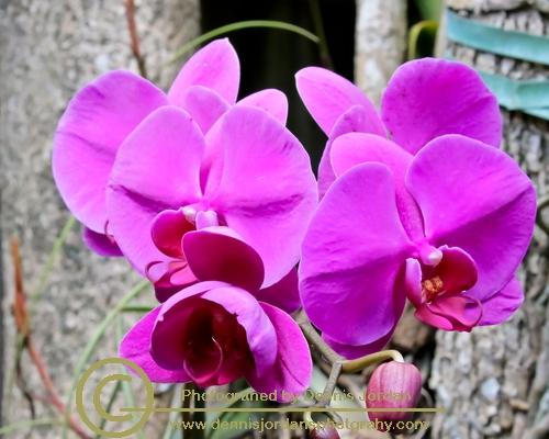 Dennis Jordan\'s Photography;Florida Wildlife Photography;Flowers;Nature Photography;Orchid