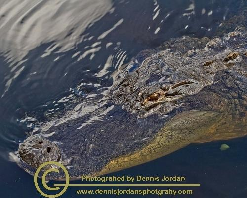 Alligators;Dennis Jordan\'s Photography;Florida Wildlife Photography;Nature Photography