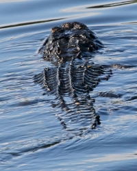 Alligators;Dennis-Jordans-Photography;Florida-Wildlife-Photography;Nature-Photography