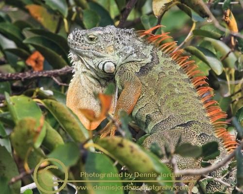 Dennis Jordan\'s Photography;Florida Wildlife Photography;Iquanas;Nature Photography